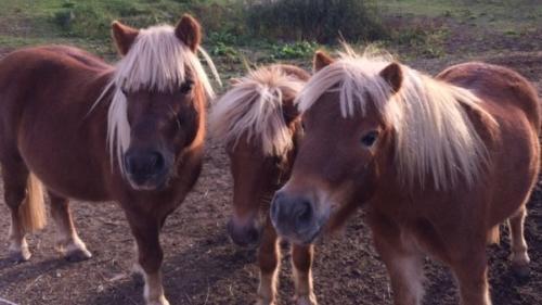 Ponys: Carlo, Hugo und Lucky